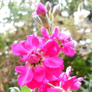 90437275_large_levkojepinkgillyflower
